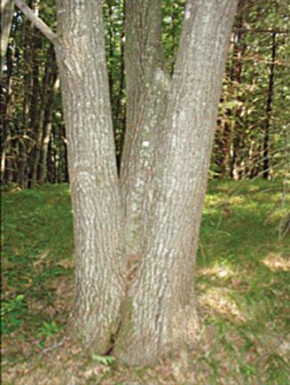 Multi-trunked tree
