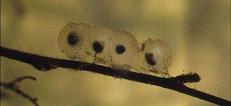 Salamander eggs